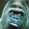 gorilla Koko
